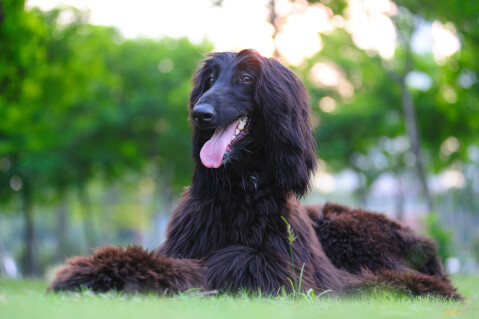 アフガンハウンド 性格 黒 子犬 値段 価格
