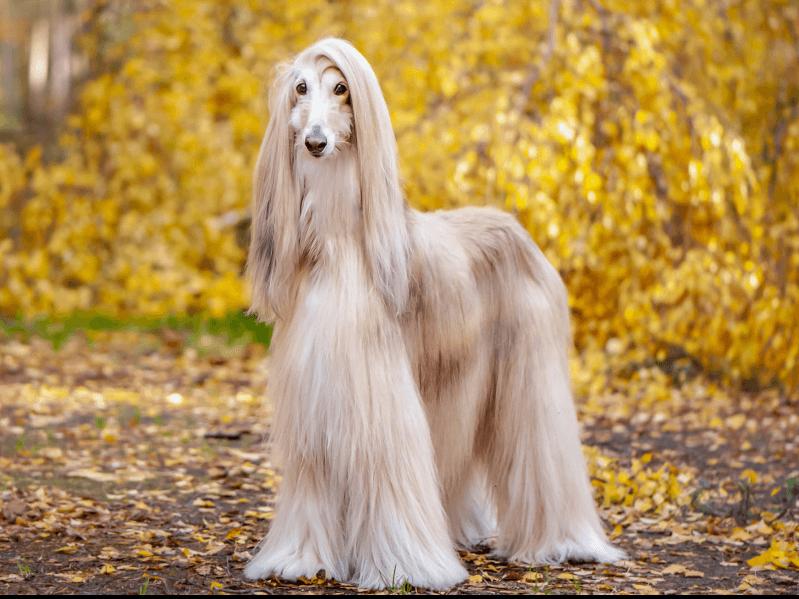 最も古い歴史を持つ犬!アフガンハウンドの歴史、性格、飼い方 | Petpedia