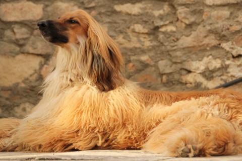 afghan-hound_0