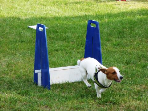 アジリティ 犬種 トレーニング 年齢 教室 しつけ