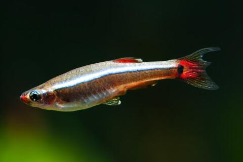 アカヒレ 特徴 飼い方 寿命 種類