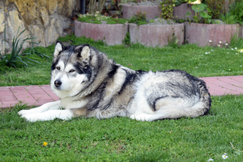 アラスカンマラミュート 性格 子犬 ハスキー 日本 販売