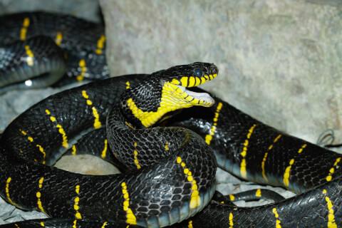コブラ 蛇 種類 特徴 模様 毒 日本 アマガサヘビ