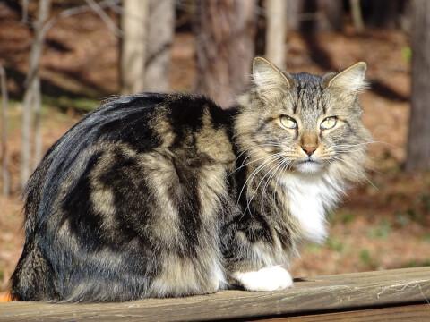 猫 人気 ペット 飼いやすい アメリカンボブテイル