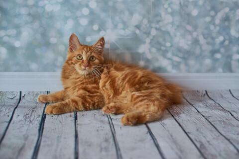 popular cat american bobtail