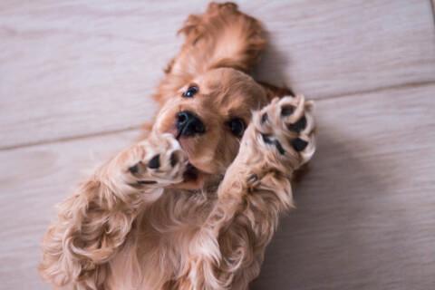 アメリカンコッカースパニエル 値段 カット 寿命 体重 子犬 黒 性格