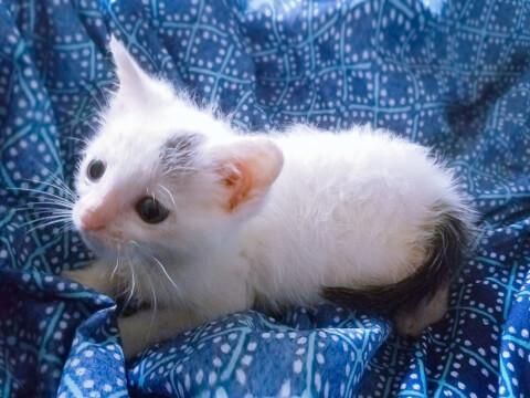 アメリカンワイヤーヘア 子猫