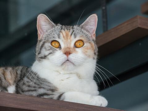 アメリカンわいやーヘア 猫