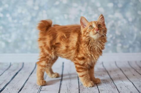 猫 種類 アメリカンボブテイル 歴史 生態 飼い方 グッズ