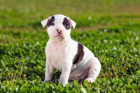 アメスタの子犬