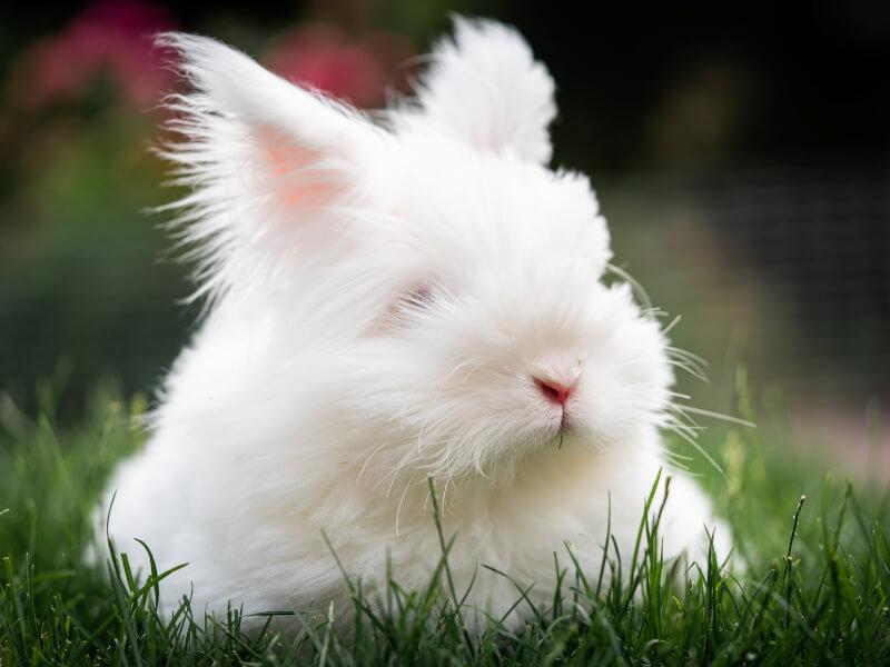 アンゴラウサギの種類、値段、飼い方 | Petpedia