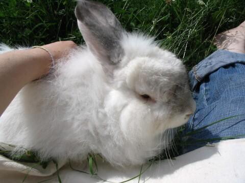 angora アンゴラウサギ