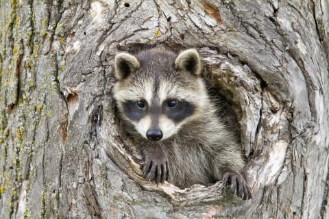 アライグマ ペット 駆除 生態 飼育 ペット