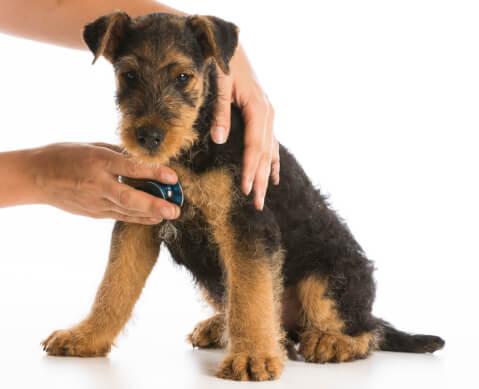 聴診器を当てられるエアデール・テリアの子犬