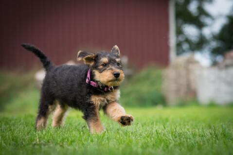 走るエアデール・テリアの子犬