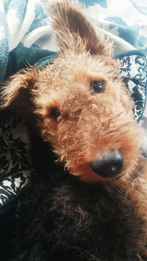片耳が上がったエアデール・テリアの子犬