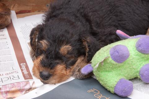 ぬいぐるみの横で眠るエアデール・テリアの子犬