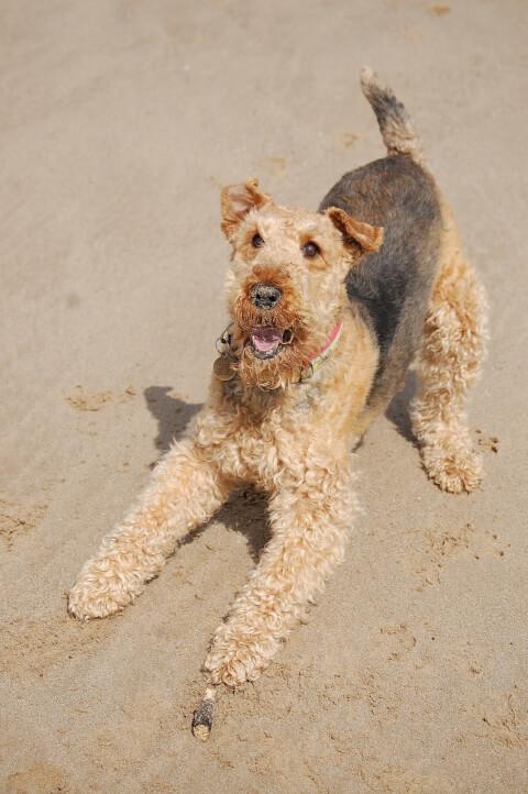 砂浜で構えるエアデール・テリア