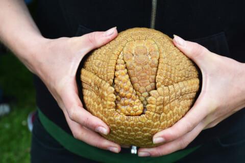 アルマジロ ペット 値段 丸まる 絶滅危惧種 販売 飼育 種類