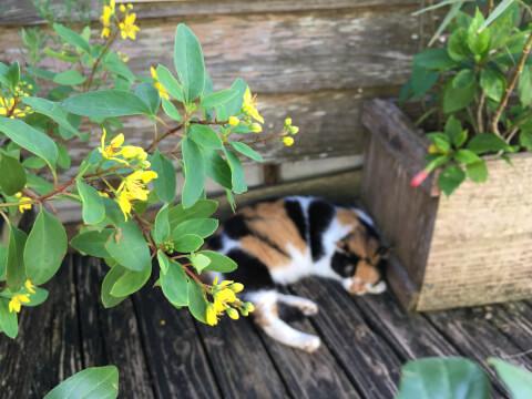 黄色い花と三毛猫