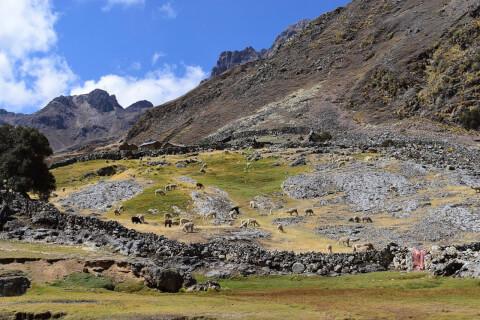 アンデス山脈のアルパカ