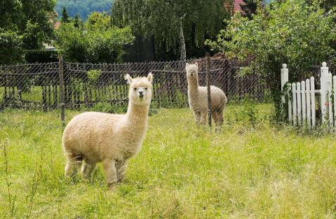 草地とアルパカ