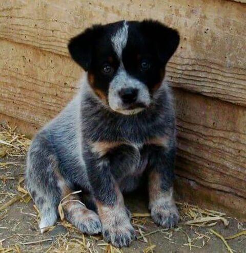座るオーストラリアンキャトルドッグの子犬