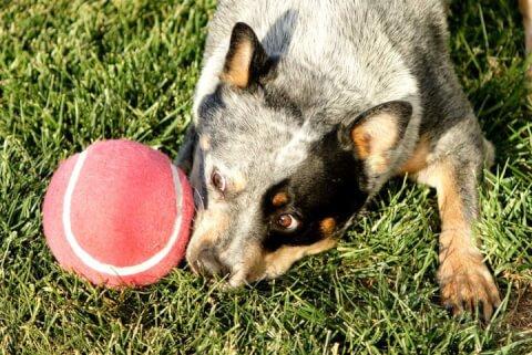赤いボールとオーストラリアンキャトルドッグの子犬