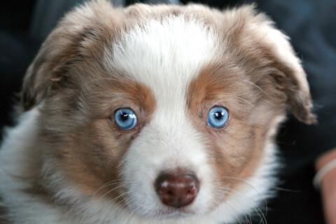 水色の目のオゥシー子犬顔アップ
