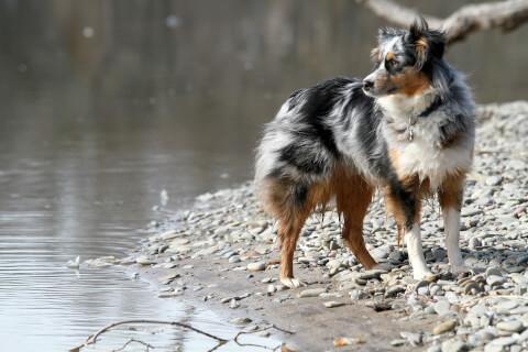 水辺にいるブルーマールのオゥシー