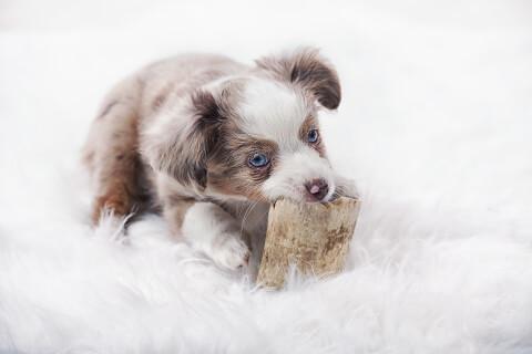 白背景のオゥシーの子犬