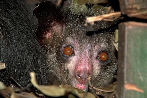 アイアイ 生態 猿 特徴 怖い 歌