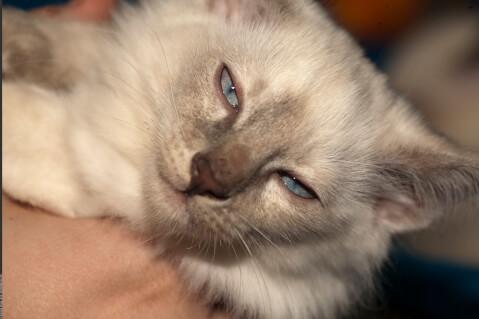 アップでこちらを見つめるバリニーズの子猫