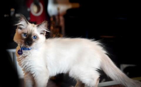 青い首輪をしたバリニーズ