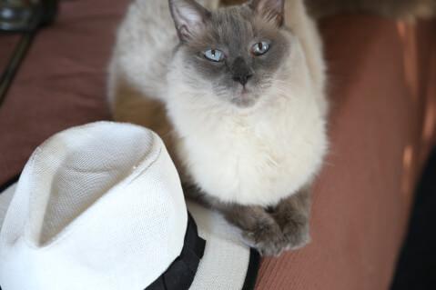 白い帽子とバリニーズ