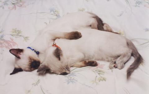 眠るバリニーズの子猫2匹