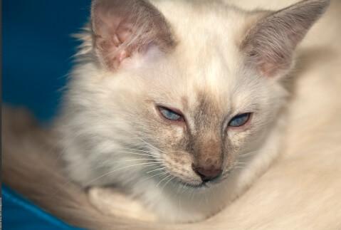 伏目のバリニーズの子猫