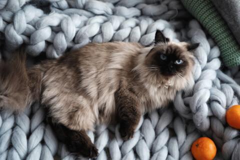 バリニーズ 猫 意味 性格 寿命 販売 体重 アレルギー