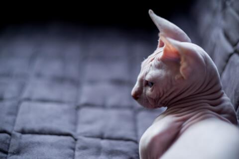 バンビーノ 猫 特徴 価格 販売 性格