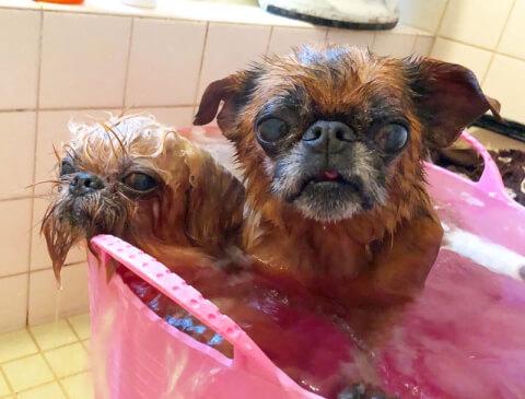 入浴中のプチブラバンソンとブリュッセル・グリフォン