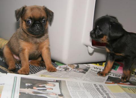 茶色と黒のプチ・ブラバンソン子犬