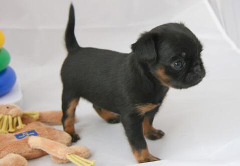 ぬいぐるみと黒いプチ・ブラバンソン子犬
