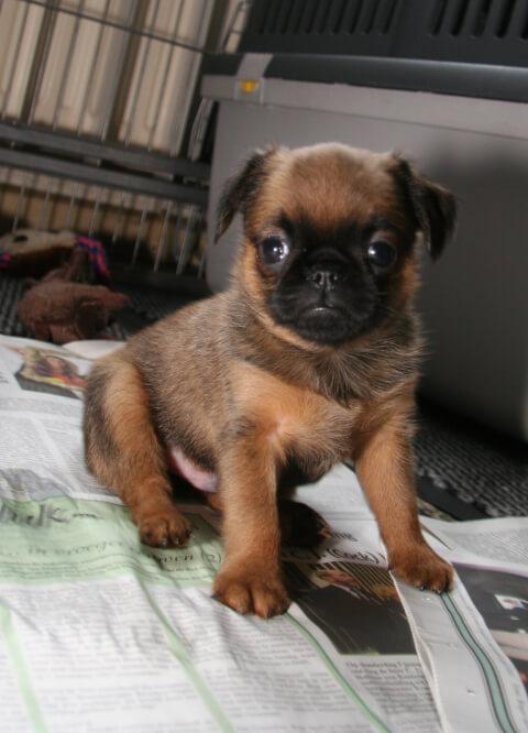 茶色いプチ・ブラバンソン子犬縦写真
