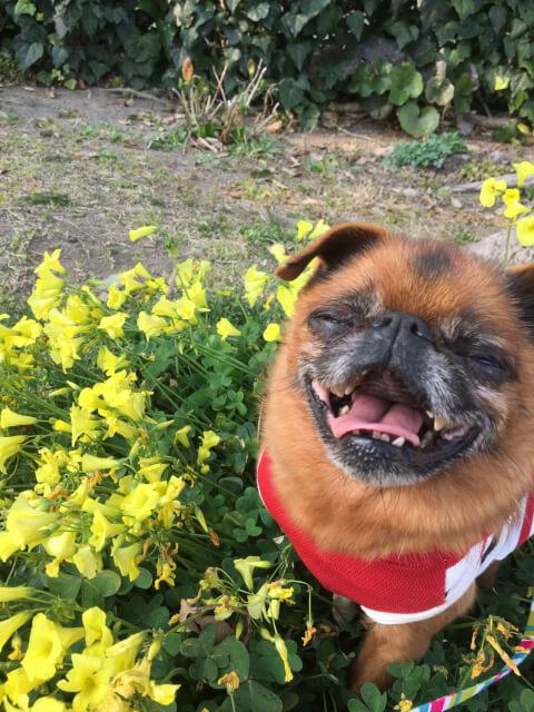 黄色い花とプチ・ブラバンソン