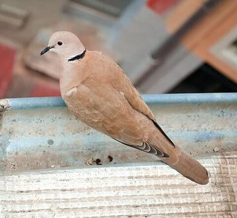 barbary-dove-bird