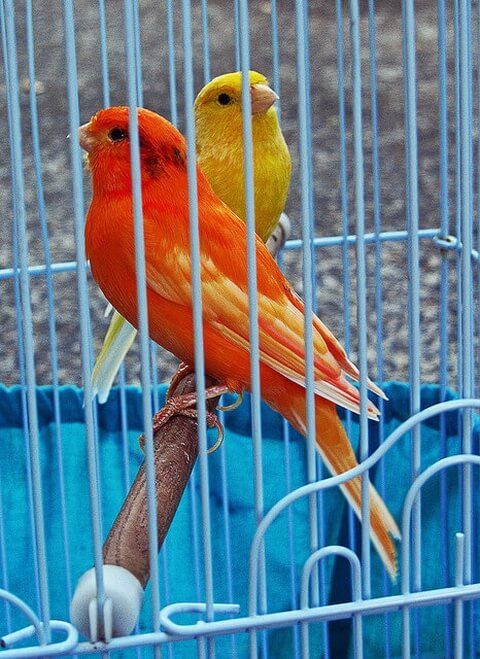 canary-red