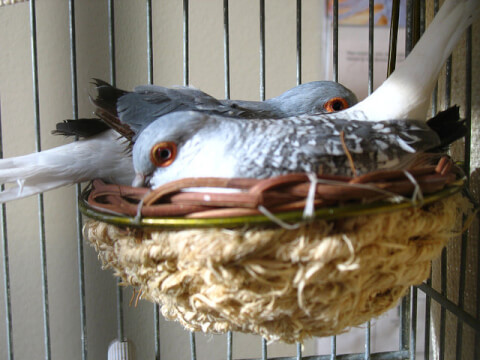 bird-dimond-dove-couple-nest