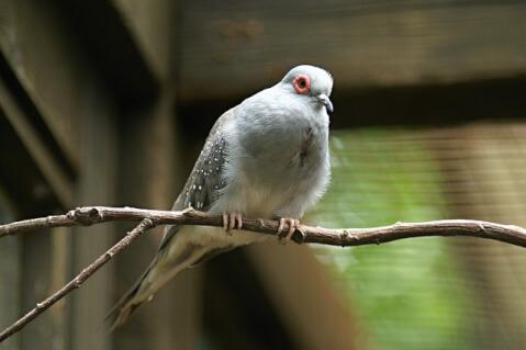 diamond-dove