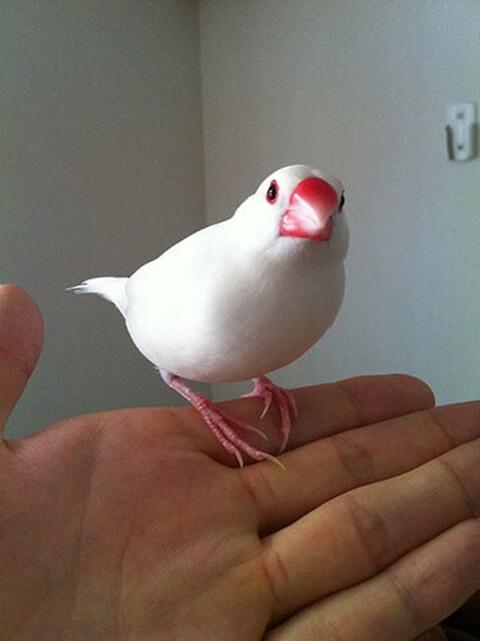 java-sparrow-white