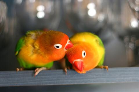 lovebird-couple